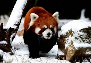Cute Red Panda In Snow | Amazing Wallpapers
