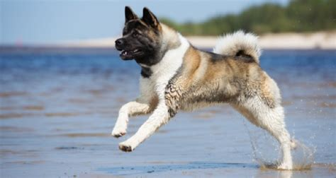 The Akita Breed - Midwest Akita Rescue Society