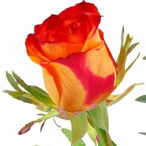 1 Rote Rose Bedeutung : einzelne gelb rote rose einzelne rosen nach sorte blumenstr u e blumenversand ~ Whattoseeinmadrid.com Haus und Dekorationen