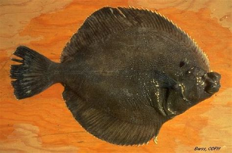 odfw finfish species flatfish