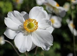Te presentamos las flores nacionales de Asia (segunda parte)