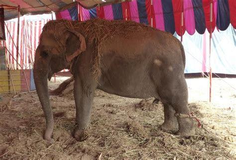 elephant tub india wildlife sos to help rescue india s remaining circus elephants