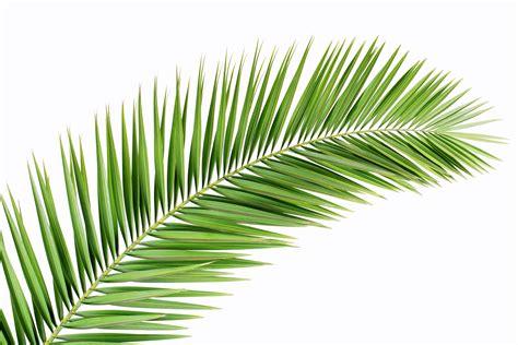 Image result for palm leaf
