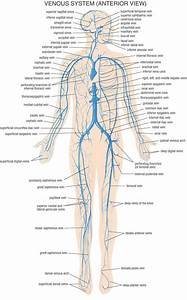 Veins In Human Body