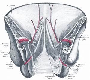 Median Umbilical Ligament