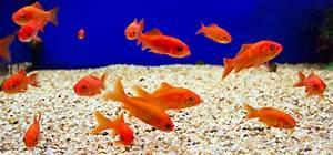 Fische Aquarium Hamburg : ergebnis f r einige kleine goldfische in einem aquarium ~ Lizthompson.info Haus und Dekorationen