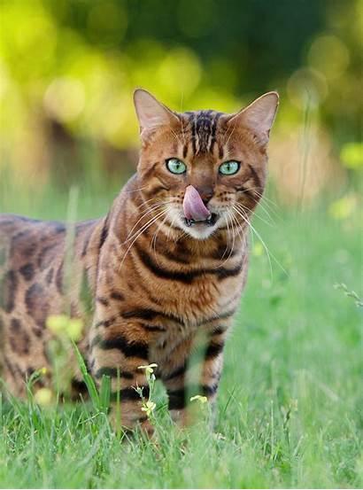 Exotic Cat Names Types Wild Hybrid Felines