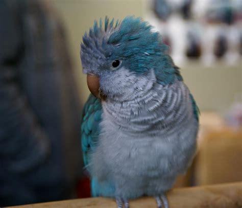 blue quaker parrot blue quaker quaker parrots monk parakeets pinterest