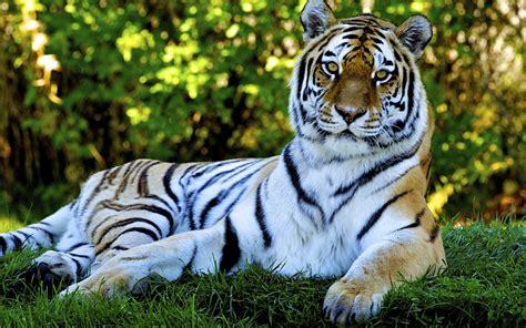 Animated Animal Wallpaper Desktop - animated nature wallpapers for desktop tiger desktop