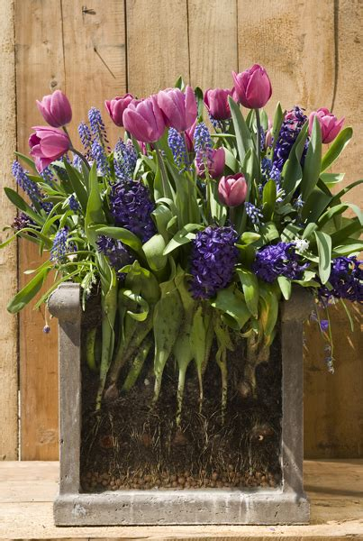 bulb planting ideas buy bulb lasagne collection for pots bulbs for pots rich blues delivery by crocus co uk