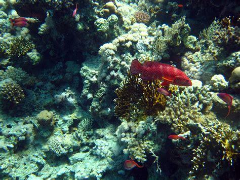 underwater egypt grouper coral