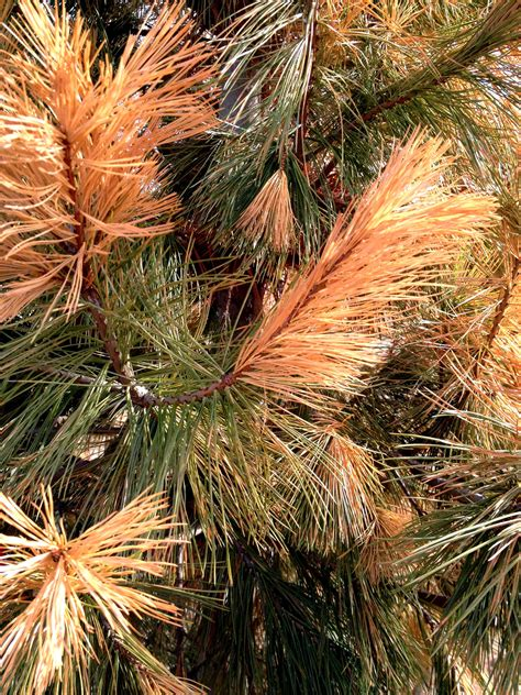 christmas tree turning brown are your evergreens looking yellow or brown this might be why fort collins nursery