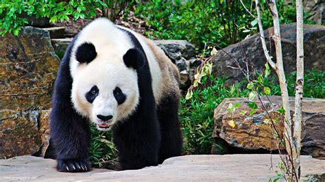 panda backgrounds pixelstalk net