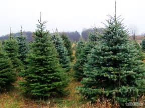 recycle live christmas trees in brentwood and franklin brentwood home page