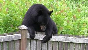 Black Bear In Backyard Of Issaquah Home On Squawk Mountain