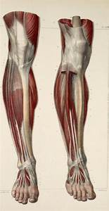 Muscles And Tendons Of The Lower Leg And Foot Jpg  494 U00d7958