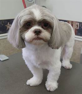Shih Tzu Cut Style Possibilities Pawpular Stuff
