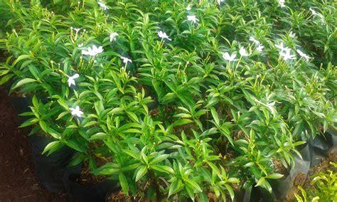 jual pohon rembusa mini tanaman hias rombusa mini