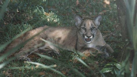rare florida panther attacks kills cat  front yard