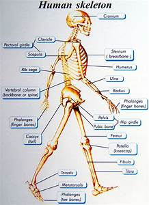 Basics Of Human Skeletal System