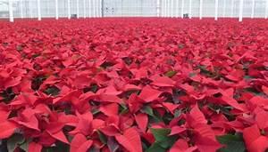 Weihnachtsstern Pflanze Kaufen : klimakiller weihnachtsstern f r klimafreundlichere ~ Michelbontemps.com Haus und Dekorationen