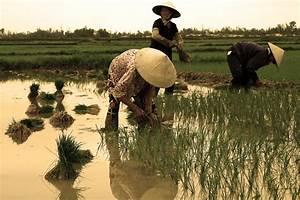 Rice Field Worker | www.pixshark.com - Images Galleries ...