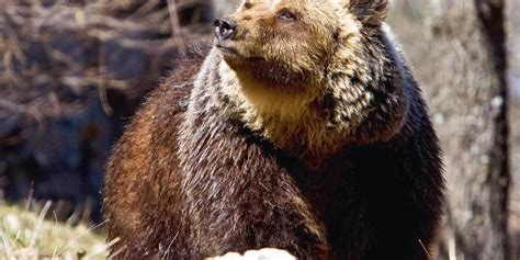 animals native italy spain europe endangered horses bear