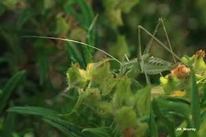 Feuille De Lys : tylopsis lilifolia phan ropt re liliac feuille de lys sauterelle feuille de ~ Nature-et-papiers.com Idées de Décoration