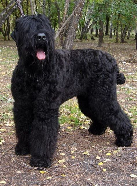 black russian terrier dogbreedscom