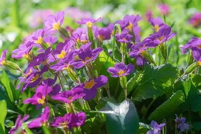February Flowers Violet Birth Month Almanac Flower