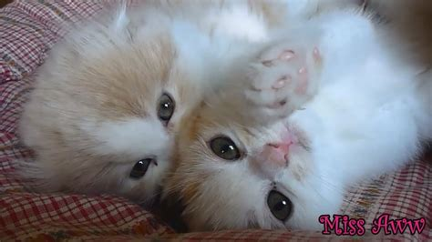 fluffy kittens playing   cute youtube