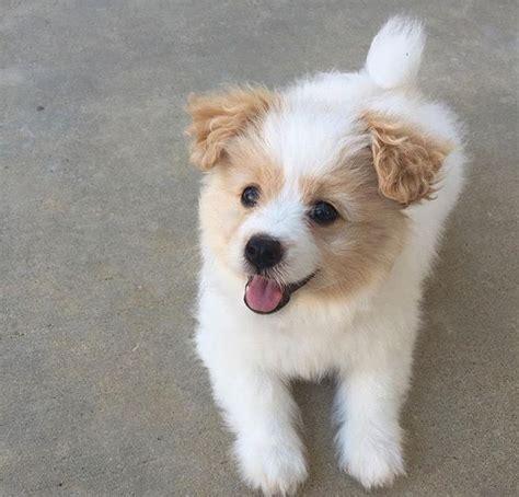 Do Bichon Pomeranians Shed by 25 Best Ideas About Poodle Mix On Poodle Mix