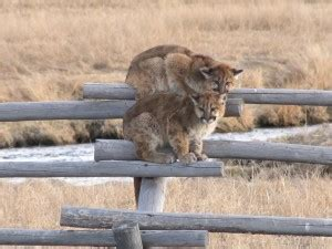 picture mountain lion fence