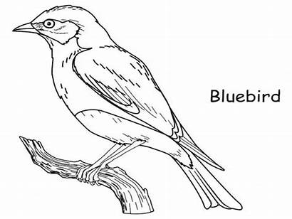 Coloring Bird Bluebird Pages Drawing Outline Printable