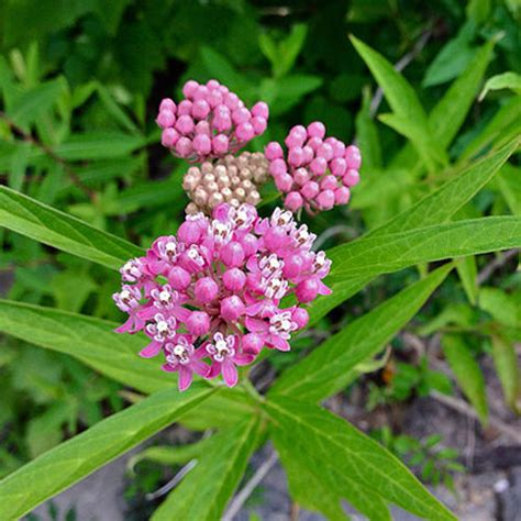buy asclepias seeds for sale at georgiavines