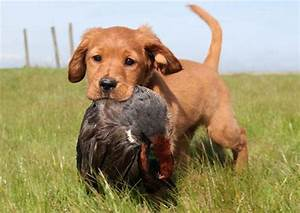Duck Hunting Golden Retrievers