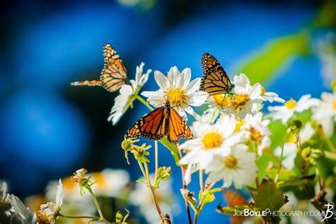 buy butterflies  white daisies photo print options