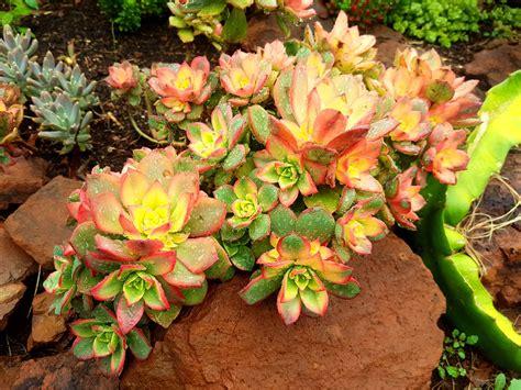Aeonium Kiwi | Succulent Shop Nursery South Africa buy Succulents Online