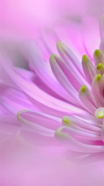 Pink Flower Dahlia Flowers Mobile Phone Wallpapers