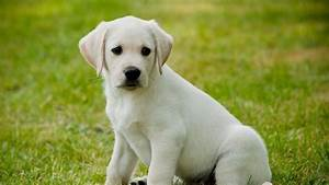 George  Yellow Labrador Guide Dog Puppy