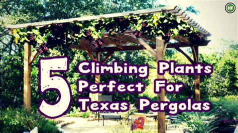 5 Climbing Plants That Are Perfect For Texas Pergolas