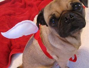 Guest Post: When Pugs Have Wings - The Trupanion Blog