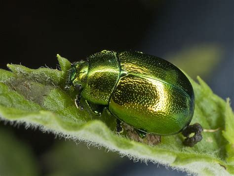 chrysolina herbacea wikispecies