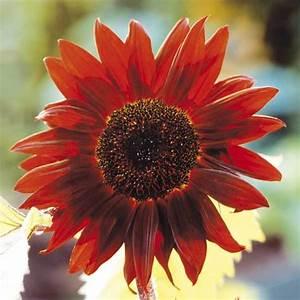 Keimzeit Saatgut De : sonnenblume 39 claret f1 39 ~ Lizthompson.info Haus und Dekorationen