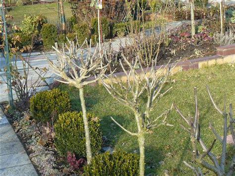 wann pflanzen zurückschneiden wann hibiskus zur 252 ckschneiden pflanzen f 252 r nassen boden