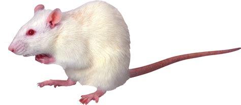 Rat Mouse PNG Transparent Rat Mouse.PNG Images. | PlusPNG