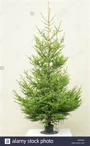 norway spruce common spruce picea abies as undecorated christmas stock photo royalty free