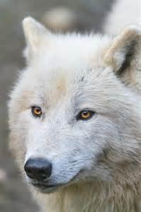 Pretty White Wolf