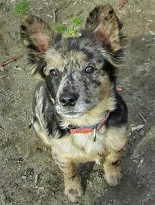 Are Australian Shepherds Good for Apartments? | Dog Care ...