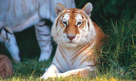 Sita Golden Tabby Tiger Dreamworld Tigers Subspecies